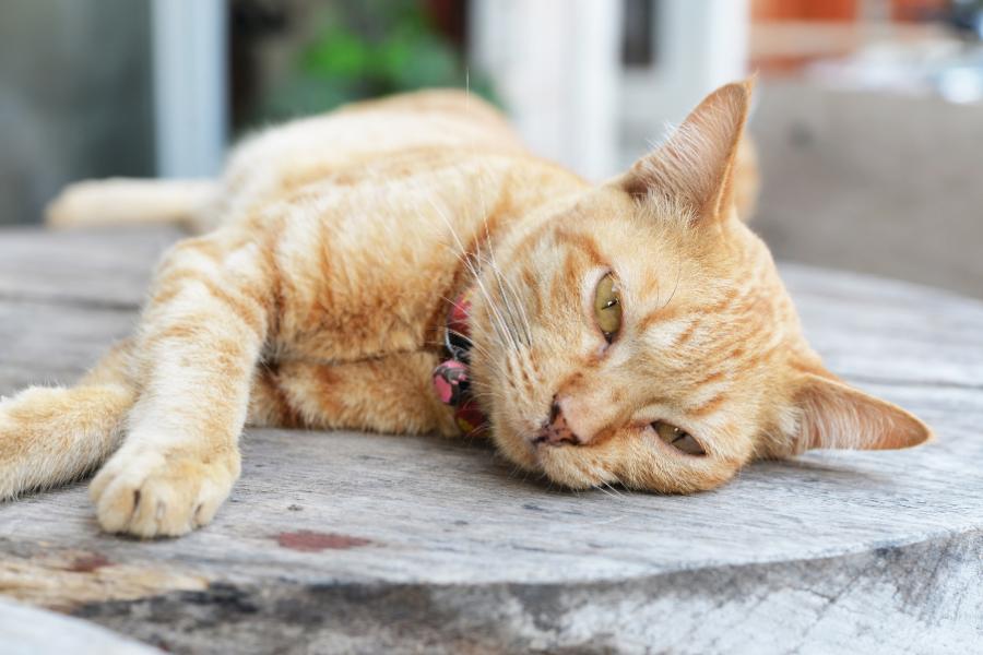 De 3 meest voorkomende urinewegproblemen bij de kat